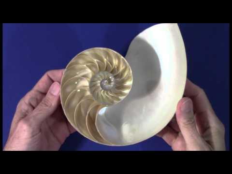 The Golden Ratio Nautilus