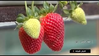 Iran Flowers & Vegetables greenhouse, Aveh city, Saveh county گلخانه پرورش گل شهر آوه شهرستان ساوه