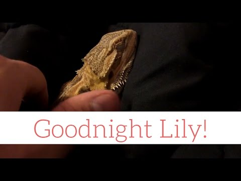 Bearded Dragon (Lily) Sleeping - Goodnight!