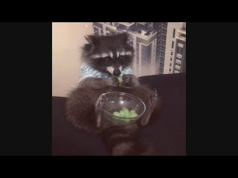 Raccoon Loves to Eat His Grape Treat