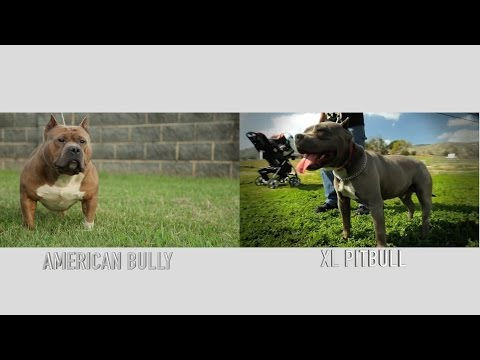 WHAT EXACTLY IS AN XL PITBULL, IT'S NOT AN AMERICAN BULLY