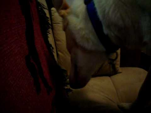 Stupid Dog Tries To Burry Bone In Couch