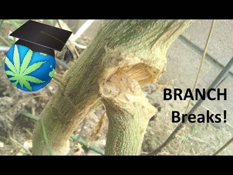 How To Fix A Branch Or Stem BREAK - Cannabis Gardening Guide