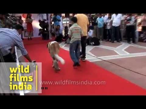St. Bernard walks like a model at a dog show in Delhi