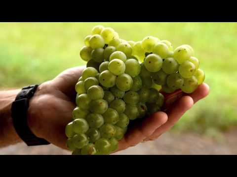 Opportunity White Wine Grape