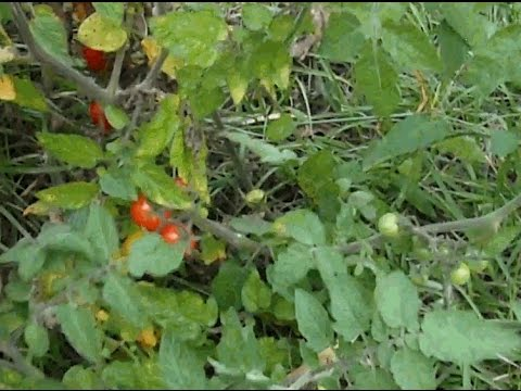 Everglades Tomato
