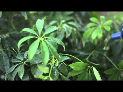 How to Make the Leaves of a Schefflera Plant Shiny : Solving Plant Needs