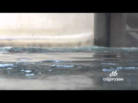 Hippos at The Calgary Zoo Take a Swim in Their New Pool