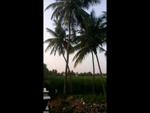 Coconut tree Falling 1