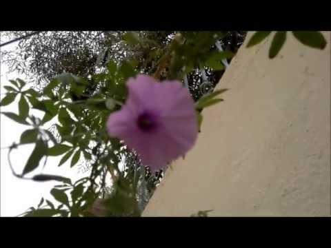 Ipomoea cairica and African Ghana Argyreia nervosa Growing In My Garden
