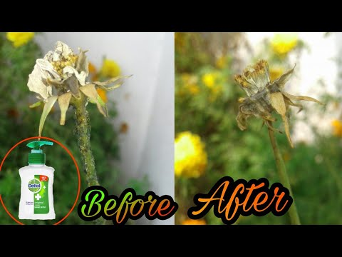 Easiest way to Control Aphid attack || Homemade spray For Plant||Aphid insect ko kaise Control kare