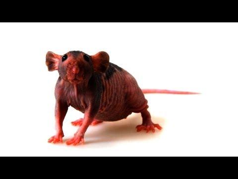 Hairless vs. Furry Rats   Pet Rats