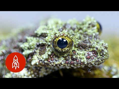 The Tiny Mossy Frog Clings for Survival