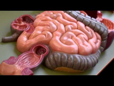 Anatomy and Physiology 2 anatomy model walk through for digestive system