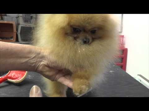 Grooming the Show Pomeranian (part one)