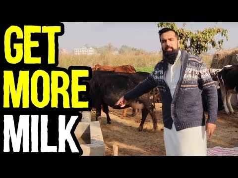 How To Increase Milk Production Instantly | Azad Chaiwala Show