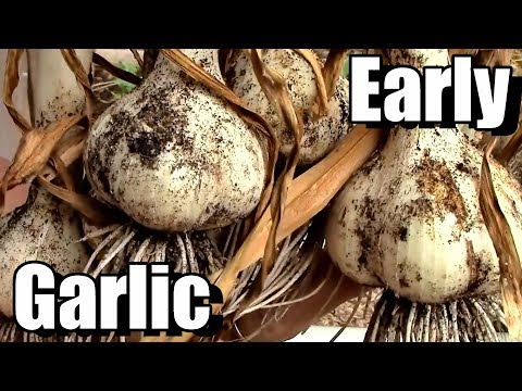 My Secret for Early Garlic Harvests