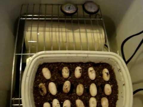 bearded dragon DIY incubator update 17 eggs hatching