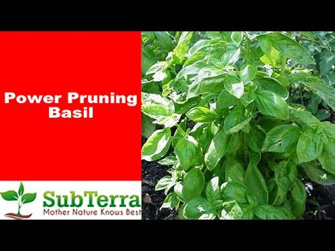 How to Prune Basil for Bushy Plants and Greater Harvest