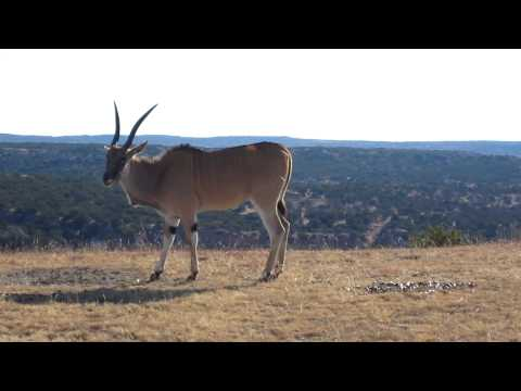 Tranq darting an eland to get porcupine quills out