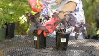 How To Prune Red Basil Garden Space