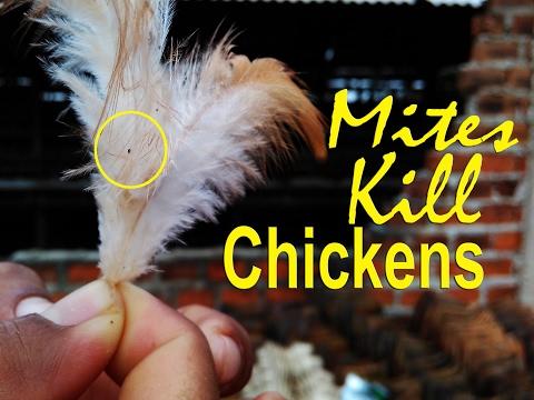 Red Mites in Chicken, Bird Mites, look !