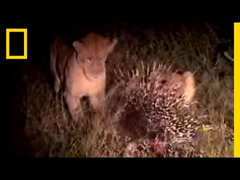 Porcupine vs. Lion | National Geographic