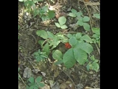 Ginseng hunting in West Virginia in fall of 2012