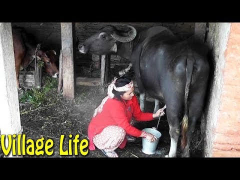 Milking Buffalo in Village || Lifestyle in the Mountain Nepal ||