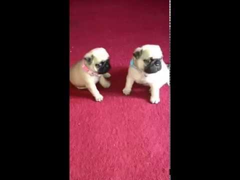 keetarose pug puppies playing and investigating