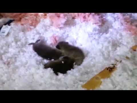 Baby Raccoons and Squirrels in Attic with Damage