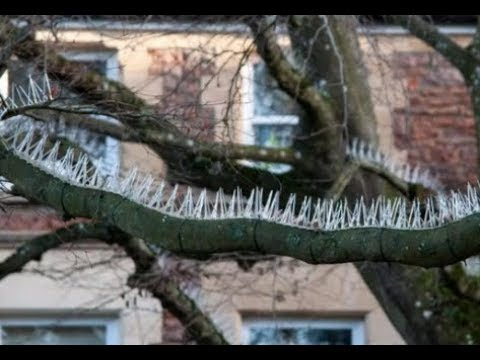 Wealthy Brits Install Spikes on Trees to Stop Birds Pooping on Their Expensive Cars