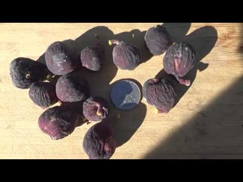 2016 Backyard Fruit Tree Project - Episode #17 Hardy Chicago Fig Tree Main Crop