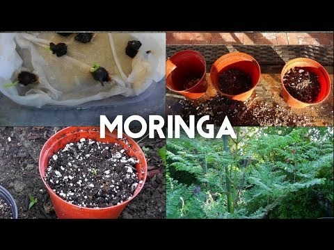 Moringa Oleifera from seed to tree - The complete guide to growing the superfood Moringa