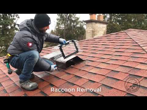 Remove Raccoons Like a Pro!   360 Wildlife Control