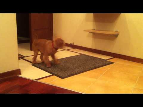 The dog itself wipes paws after walk