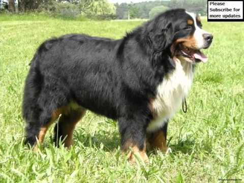 Lovely Pics Of Dog Breed Bernese Mountain Dog Dogs | Bernese Mountain Dog Dogs