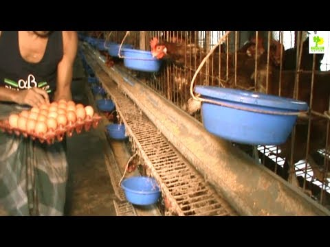 Starting a Business - Layer Chicken Farming Plan and How to Start a Business Layer Poultry Farming