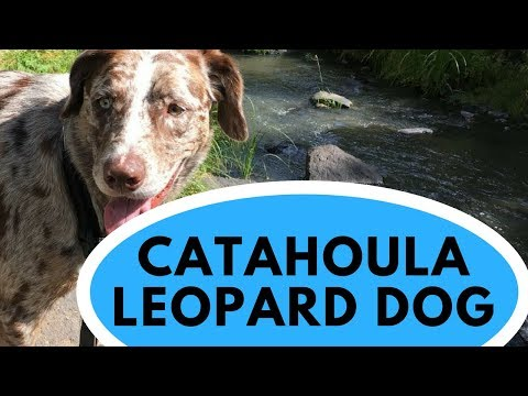 Catahoula Leopard Dog - All You Need to Know