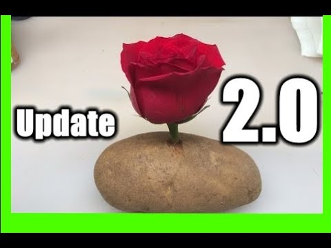 Put A Rose Cutting In A Potato And Watch It GROW!!! | NEW METHOD 2.0