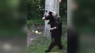 Bear Who Walks On Two Legs Is Back To Strolling Around The Neighborhood