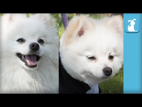 Fluffy Pomeranian Gets Boo Haircut - The Beauty of Pets