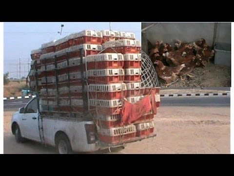 Buying egg laying hens/chickens off the back of a truck in rural Thailand