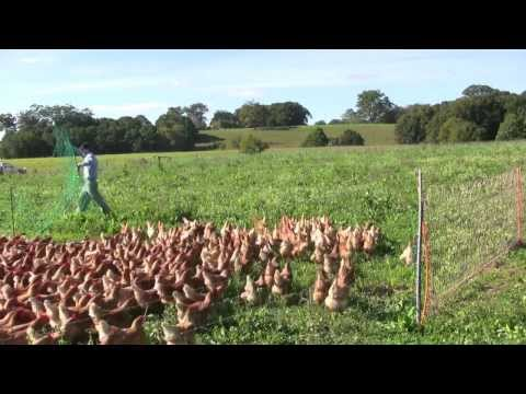 Collecting The Eggs.  Free Range Chickens with Daniel OBrien