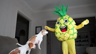 Funny Dogs vs Giant Pineapple Prank: Funny Dogs Maymo & Potpie