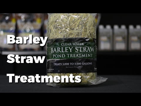 Barley Straw Treatment | How to clean Pond Water