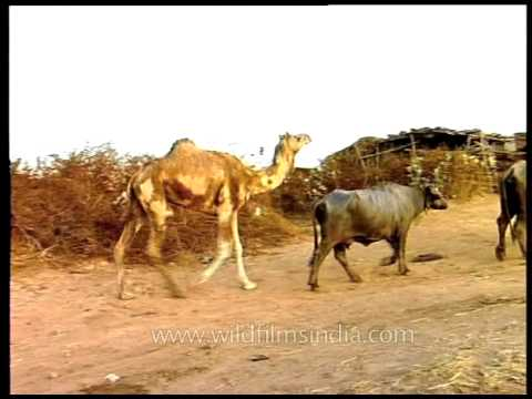Odd one out: Camel among buffaloes in Gujarat