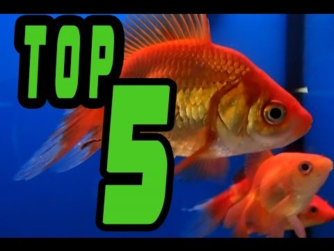 TOP 5: Easy BEGINNER Fresh Water FISH
