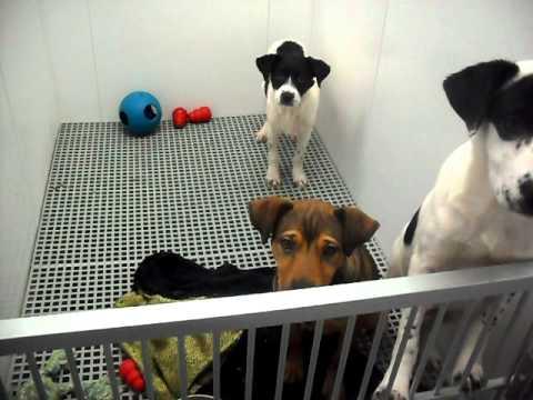 Meet Abigail a Retriever, Labrador currently available for adoption at Petango.com! 2/16/2011 4:06:2