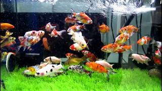 We Pick 1 Calico Watonai Goldfish Videos & Books
